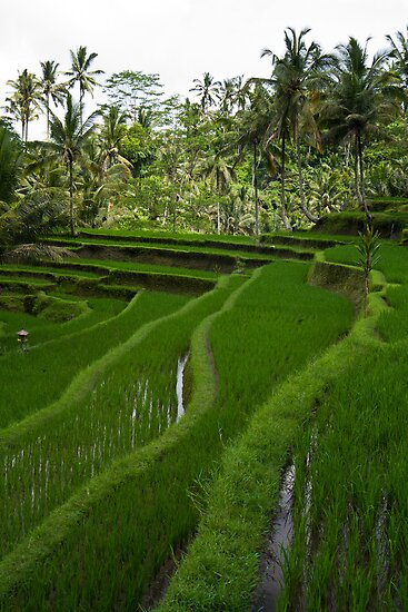 Rice paddies @ Gunung Kawi  by Ryan Pedlow