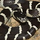 California Kingsnake by Chris Morrison