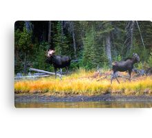 BULL AND COW MOOSE Metal Print
