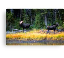 BULL AND COW MOOSE Canvas Print