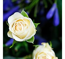 Champagne Roses Photographic Print