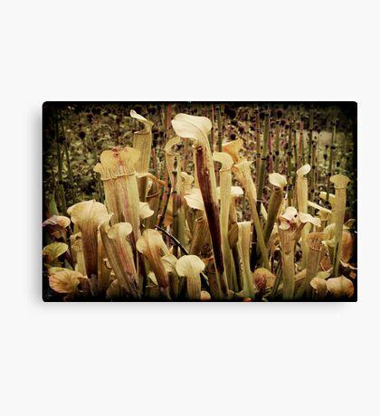 Pitcher Plants Canvas Print