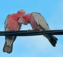 Galah TLC by Robert Abraham