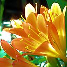 Sunshine Bright Clivia by Erica Long