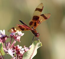 Dragonfly on Milkweed Blossom by Bixie