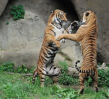 Brothers Play Malayan Tigers - Cincinnati Zoo by Kathy Newton