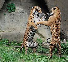 Brothers Play Malayan Tigers - Cincinnati Zoo by Kathy Newton