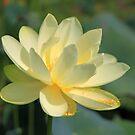 Lake Jackson American (Yellow) Lotus by RebeccaBlackman