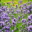 A sunny spell in the lavender garden by Katarina Kuhar