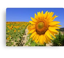 Spanish Sunflower Shining Bright Canvas Print