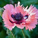 Pink Poppy by PhotosByHealy