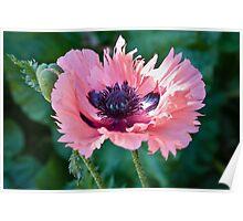 Pink Poppy Poster