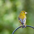 Greenfinch by TerryPatrick