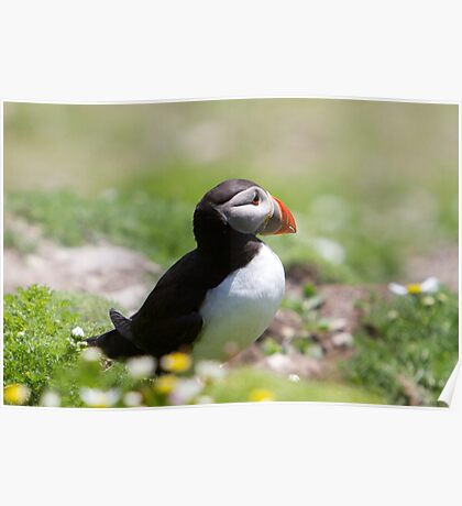A puffin on Shetland, sideways on! Poster