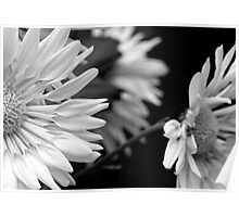 Black and White Mums Poster