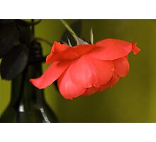 Humble Rose Photographic Print