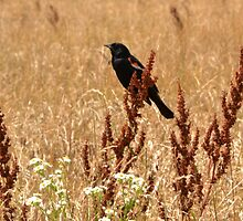 Red-winged Black Bird by Sheryl Gerhard