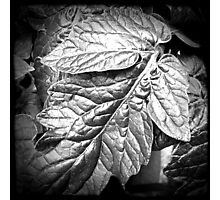 Basil Leaves - Black and White Photographic Print