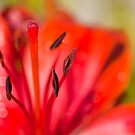 Lilies (disambiguation) by Elaine123