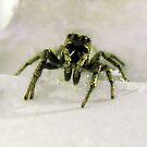 Jumping Spider by Angela Yoldassis