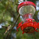 Female Hummingbird by Chuck Zacharias