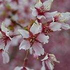 Cherry Blossoms - Northern Virginia by joannelheureux