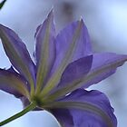 Purple Clematis - Northern Virginia by joannelheureux