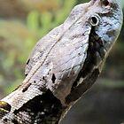 West African Gaboon Viper by Veronica Schultz