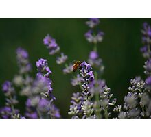 Lavender Honey Photographic Print