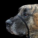 Great Dane Profile by WolfPause