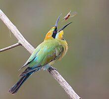 Rainbow Bee-Eater feeding by birdpics