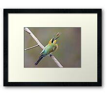 Rainbow Bee-Eater feeding Framed Print