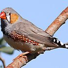 zebra finch by birdpics