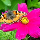 Small Tortoiseshell on Cosmea by ©The Creative Minds