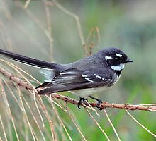 Grey Fantail - Second Valley - South Australia by Alwyn Simple