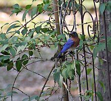 Eastern Bluebird by RebeccaBlackman