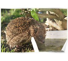 Hedgehog sipping water Poster