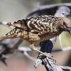 western bowerbird by birdpics