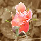 Pink rosebud  by Lynn Bolt