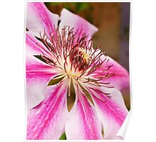 Clematis Posed Poster