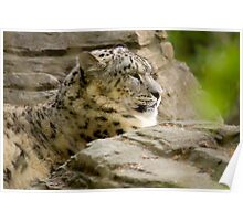snow leopard soaking up the sun Poster