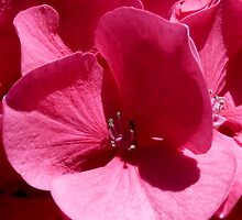 Look closely at the heart of the hydrangea! by bubblehex08