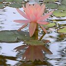 Water Lily Reflections by Navigator