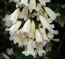 White bells Leith Park Victoria 201509160360     These cover the arches over the pathway to the community hall  by Fred Mitchell