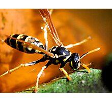 Thirsty wasp Photographic Print