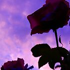 Rose in the sunset by Courtneystarr