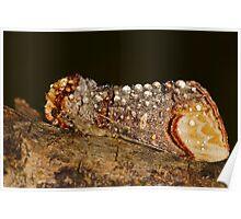 Buff-tip (Phalera bucephala) Poster