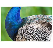 Peacock Colours! Poster