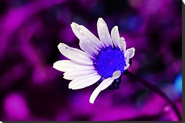 Purple Blue Daisy by Francesco Malpensi