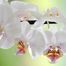 White Orchids by Rosy Kueng